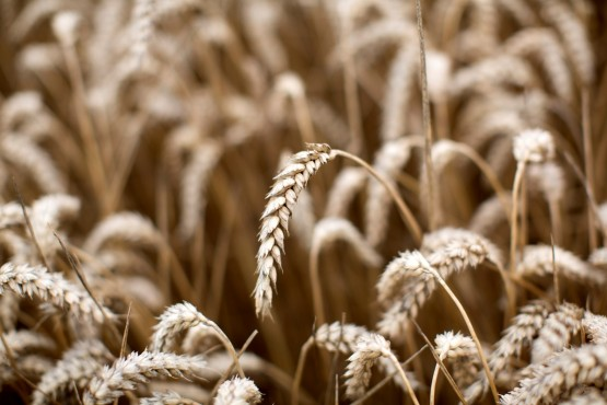 The Western Cape is set for a bumper wheat harvest, boosting the profits of companies like Kaap Agri. Picture: Matthew Lloyd/Bloomberg
