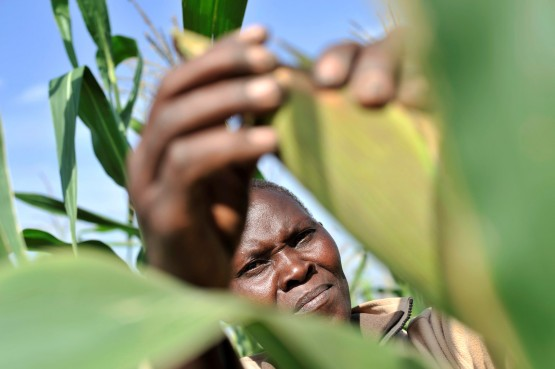 Zimbabwe's corn crop is expected to plummet 54% this year amid drought and after Cyclone Idai damaged crops in some provinces, according to the Agriculture Ministry.  Picture: Ricardo Gangale, Bloomberg