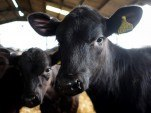 Zimbabwe bans some cattle movement over foot and mouth