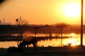 Golden gnu, black impala breeding may be regulated in SA