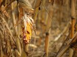 Zimbabwe imports corn as catastrophic hunger looms