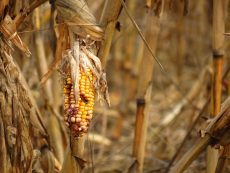 Maize shortages cuts Pioneer Foods earnings, shares