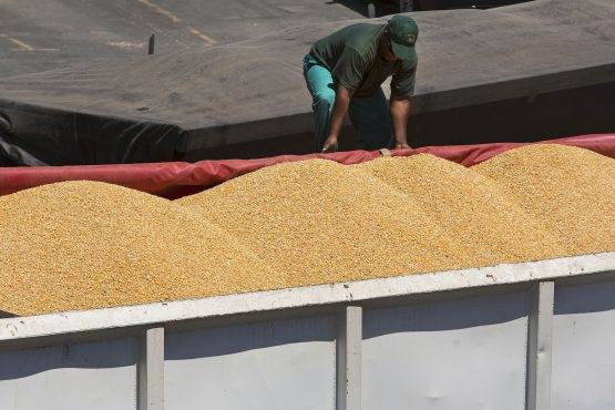 The 2019 harvest consists of 5.548m tonnes of white maize and 5.487 tonnes of yellow maize, according to the poll. Image: Halden Krog, Bloomberg