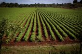 How tobacco crops can help combat Covid-19