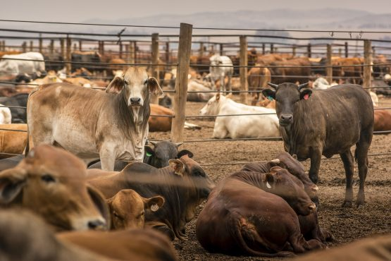 Zimbabwe suspends imports of live cattle, goats, sheep and pigs and related products from SA, as authorities seek to identify the virus strain and extent of the outbreak. Image: Waldo Swiegers, Bloomberg