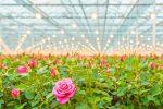 PSG prunes its roses