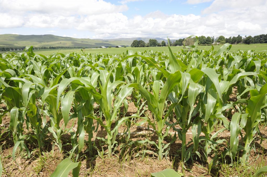 SA's maize planting area up on favourable weather