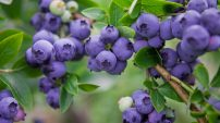 Blue skies (and blueberries) for Pan African Resources