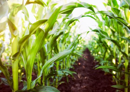 2020 maize output seen lower than previous forecast
