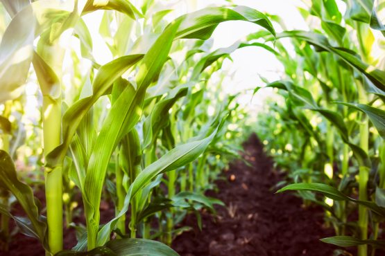 Exports of maize in the first quarter exceeded half a million tons, an increase of 86% over the same period last year. Image: Shutterstock