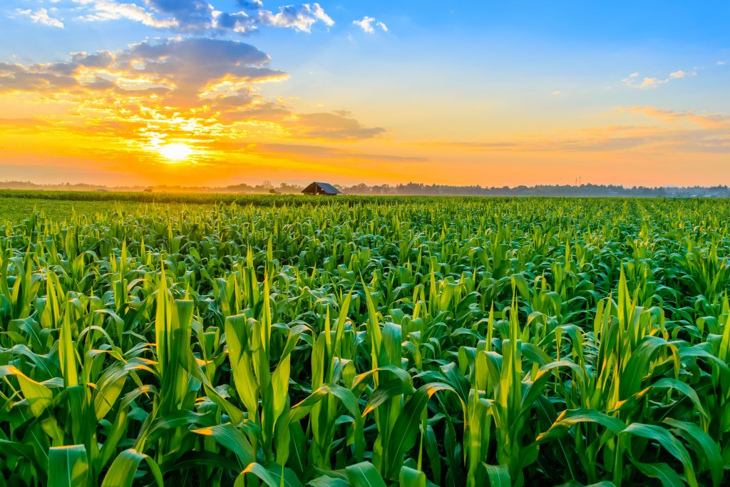 2020 maize output dips from previous month on wet weather