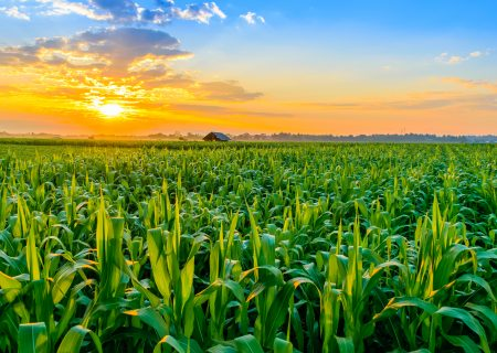 SA to plant 5% more maize hectares in 2020/21 season