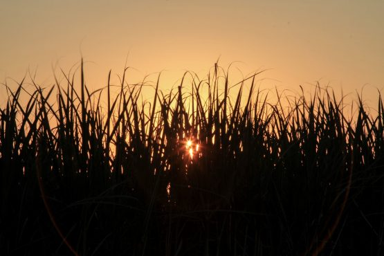 The sun sets beyond a field of sugarcane. Image: Dean Hutton, Bloomberg