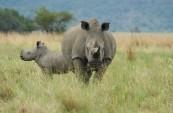 Rhino poaching at record levels in Botswana