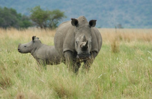 Two rhino species have fewer than 80 animals left in the wild. Picture: Peter Oberem via Bloomberg