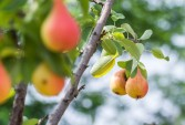 Rhodes wins contract to export pears to Walmart US