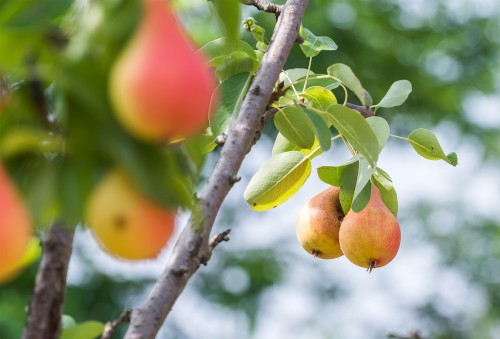 Walmart customers will soon be getting a taste of South African pears. Image: Moneyweb