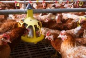 Chickens may starve if power cut, Astral warns