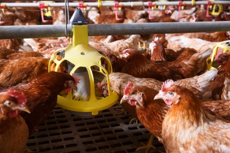 RCL Foods is sticking to the chickens