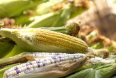 Maize forecast seen down slightly from previous