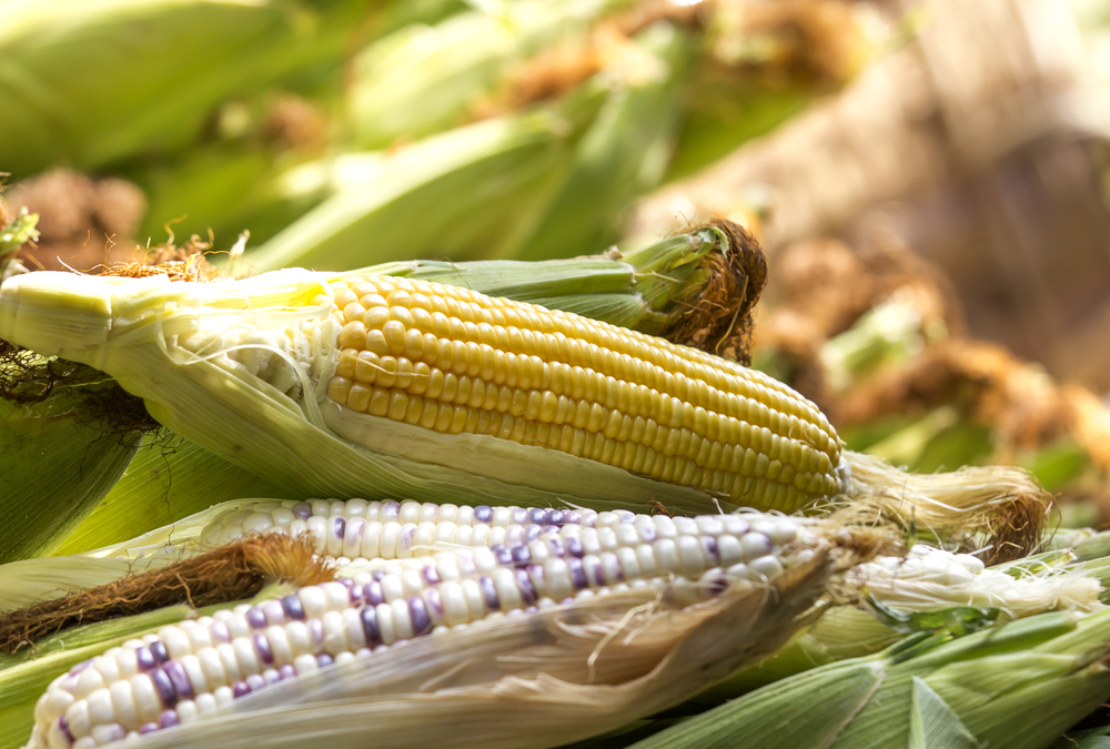 SA's 2019 maize harvest seen 15% lower than prior season
