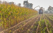 Zimbabwe expects maize output to more than triple this year