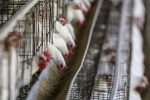 Over 1 000 jobs lost in egg production sector after avian flu
