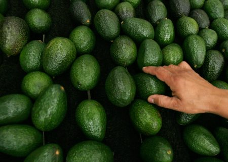 Avocado 'green gold' ripe and ready for SA's farmers