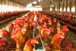 Avian flu severe threat to poultry industry