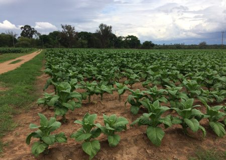 Local tobacco farmers to profit from new alliance