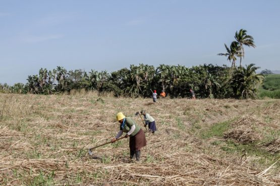Workers spread sugarcane waste onto farmland in Sezela. Picture: Dean Hutton/Bloomberg