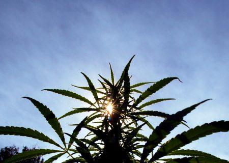 Zimbabwe kicks off cannabis industry with prison plantation
