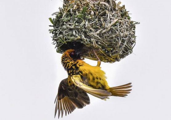 The asset consultant and multi-manager will work in the space between asset managers and retirement funds wanting to invest responsibly. Meanwhile, a Village Weaver works on its beautifully crafted nest near Winterton in KwaZulu-Natal. Photographer: David Weaver