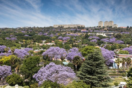 Worried Johannesburg residents have started marking dead or dying trees with red paint or plastic ribbons and created WhatsApp groups to discuss the invasion. Picture: Shutterstock