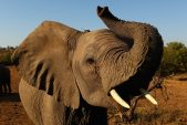 Southern African nations demand right to sell elephant ivory