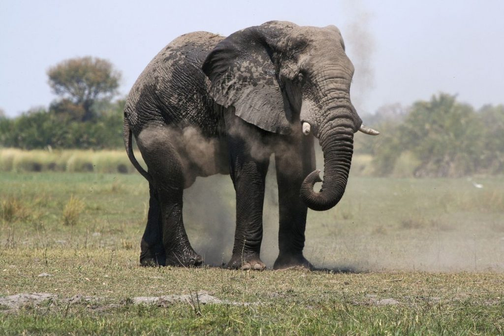 Zimbabwe considers mass elephant killing