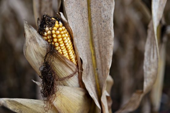 Purchases of corn by Mozambique, which was hit by both cyclones and dry weather, are seen at a 14-year high. Picture: Bloomberg