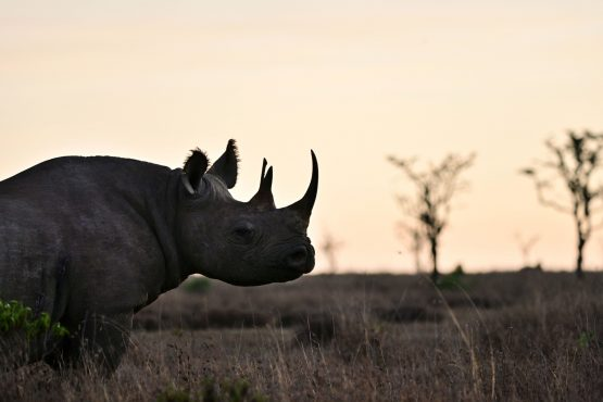 The five-year rhino impact bond will cover conservation efforts at five sites in South Africa and Kenya where about 700 black rhinos live. Picture: Tony Karumba ,AFP/ Getty Images