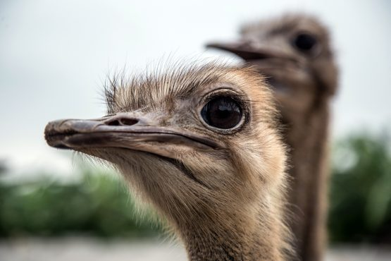 The suppliers must offer 40% of ostrich feathers and meat to the local market.  Picture: Yen Duong, Bloomberg