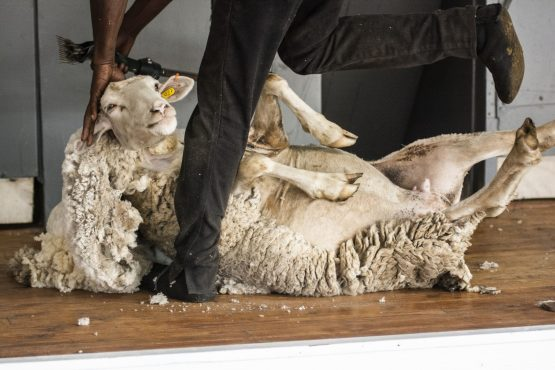 Chinese authorities initially banned South African wool exports in February, weeks after foot-and-mouth disease was reported in northern Limpopo province. Picture: Bloomberg