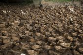 Army of 100 000 Chinese ducks ready to fight locust swarms