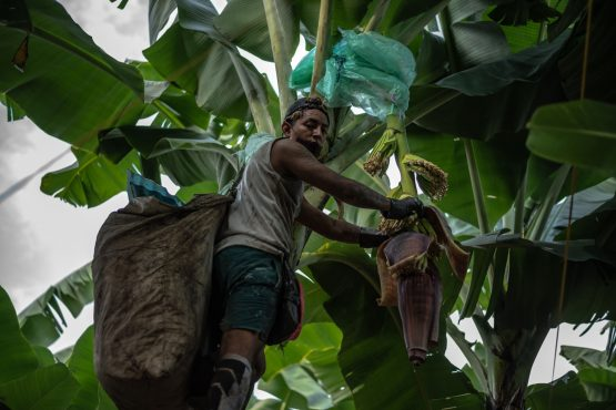 A worker wraps plastic sheeting around the plants to protect the banana blossom sprouts. Image: Vicente Gaibor/Bloomberg