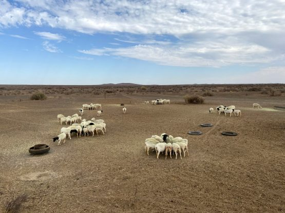 Sheep eat pellets from feed troughs on a farm in the Northern Cape province. Image: Bloomberg