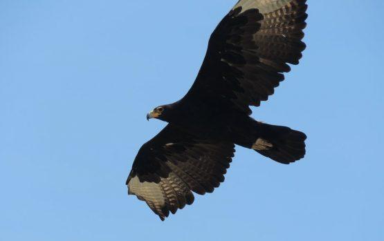 Verreaux's Black Eagle. Image: Megan Murgatroyd