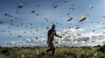 East African nations will likely contain locust swarms, FAO says