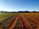 SA's saffron investment opportunity