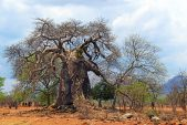 Baobabs, donkey carts and armoured beetles