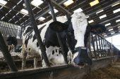 Cargill backs cow masks to trap methane burps
