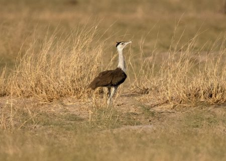 A giant, poor-sighted bird stands in the way of India's green goals