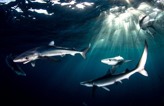 Blue sharks, which are prized for their fins, swimming off Cape Point in South Africa. Image: Morne Hardenberg